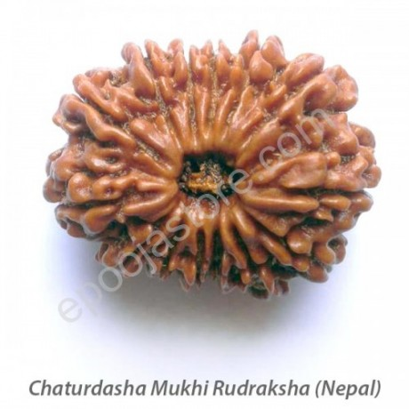 Chaturdasha Mukhi Rudraksha With Silver Capping